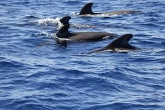Pilot whale group Royalty Free Stock Image