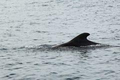 Pilot Whale im Ozean lizenzfreie stockfotografie