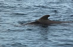 Pilot Whale im Ozean stockbild