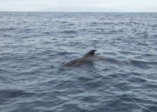 Pilot Whale im Ozean lizenzfreies stockbild