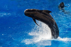Pilot whale jumping outside the sea. Black pilot whale while jumping outside the deep blue sea royalty free stock photo