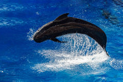 Pilot whale jumping outside the sea. Black pilot whale while jumping outside the deep blue sea stock photo