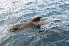 Pilot Whale in the ocean. Coming out of water stock photography