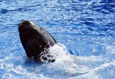 Pilot Whale performing tricks (Globicephala melas). Pilot Whale performing tricks in a pool Royalty Free Stock Photo