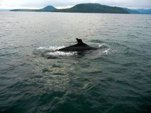 Whale surfacing royalty free stock photography