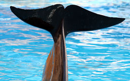 Pilot Whale Tail. Detail View Of Pilot Whale Tail royalty free stock images