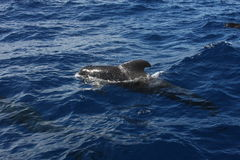 Pilot whale, Tenerife Royalty Free Stock Images
