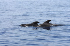 Pilot whales. At the coast of Tenerife, Canary Islands Spain stock photography