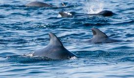 Pilot whales Royalty Free Stock Photo