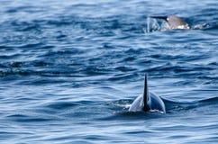 Pilot whales Royalty Free Stock Photos
