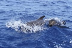 Pilot whales free with baby in mediterranean. Pilot whales free with baby sea blue mediterranean swimming royalty free stock photos