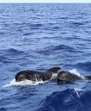 Pilot whales free with baby in mediterranean Royalty Free Stock Photo