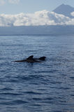 Pilot whales in front of Pico Royalty Free Stock Photography