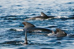 Pilot whales Royalty Free Stock Image