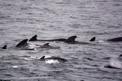Pilota Whales Fotografie Stock Libere da Diritti