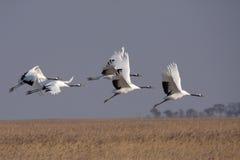 Piloter l'oiseau rouge-couronné de grue Image libre de droits