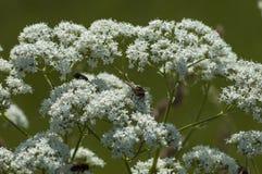 Pilotez l'insecte sur une fleur blanche sauvage de montagne, balkan central, Stara Planina photos libres de droits