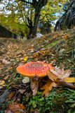 Pilotez le champignon d'agaric - vari?t? sauvage toxique de champignon photo stock