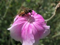 Pilotez les affinis de Heliophilus du famille Syrphidae Images stock