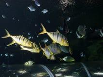 pilotfish κοπάδι Στοκ Εικόνα