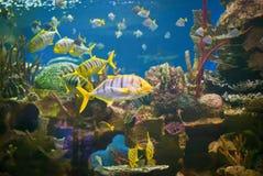 Pilotfish in beautiful aquarium. The pilot fish (Naucrates ductor) is a carnivorous commensal fish in the family Carangidae. The pilot fish congregates around stock photo