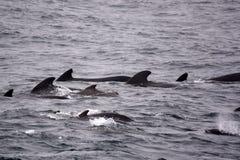 Piloto Whales Fotos de archivo libres de regalías