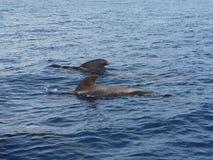 Pilotowi wieloryby zdjęcia royalty free