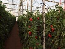 Pilpel växthusIsrael Negev frukter royaltyfri foto