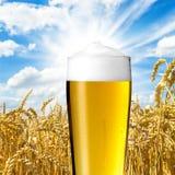 Pilsener-Bier mit Tautropfen Stockfotos