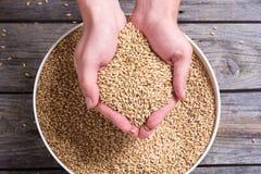 Pilsner słód w ręce zdjęcia royalty free