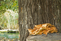 Pilz auf Baum-Stamm Stockbild