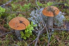 Pilz auf dem Moos Stockbilder