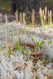 Pilz auf dem Moos Stockbild