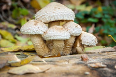 Pilz auf einem Baumstumpf Stockbilder