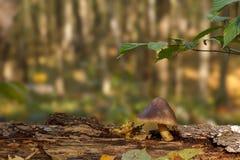 Pilz auf einem Baumstumpf Lizenzfreies Stockfoto