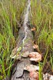 Pilz auf Holz Stockfoto