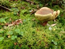 Pilz auf Mooskleefeld im Wald Stockbilder