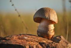 Pilz bei Sonnenuntergang lizenzfreie stockbilder