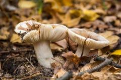 Pilz in den gelben Blättern lizenzfreies stockfoto