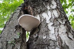 Pilz, der auf einer Baumbirke wächst Stockfotografie
