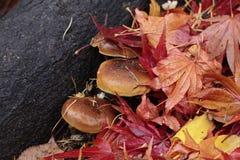 Pilz im bunten gefallenen Laub Stockfotos