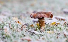 Pilz im gefrorenen Gras im Herbst stockbilder