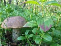 Pilz im Gras Lizenzfreie Stockbilder