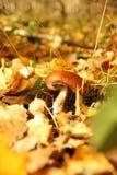 Pilz im Holz lizenzfreie stockfotos