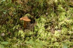 Pilz im Moos Lizenzfreie Stockbilder