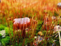 Pilz im Moos Stockfotografie