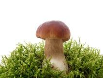 Pilz im Moos getrennt auf Weiß Stockfotografie