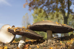 Pilz im sonnigen Herbstwald Stockfotos