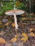 Pilz im Wald Lizenzfreie Stockfotografie