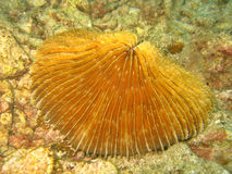 Pilz-Koralle Stockfotografie